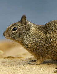 What a Ground Squirrel Looks Like